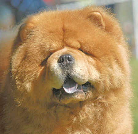 How breeders and judges destroyed the unique Chow-Chow (2/6)